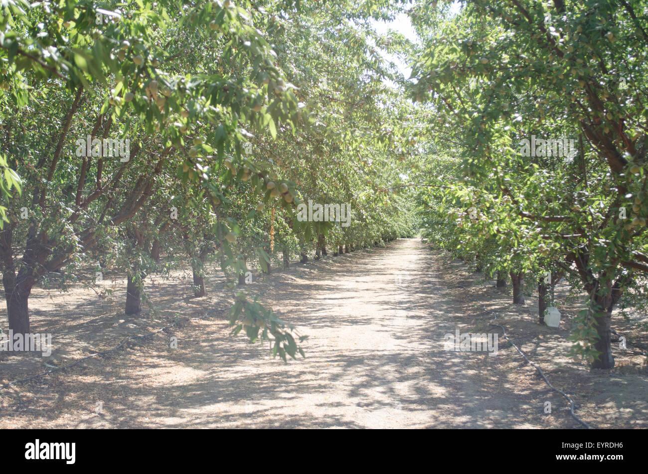 Il frutteto di mandorle in California centrale, Butte Padre varietà. Immagini Stock