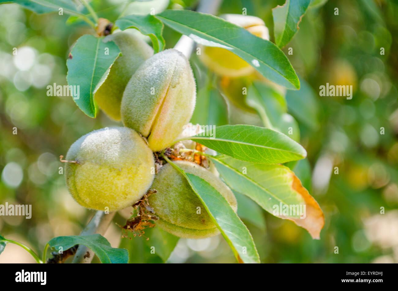 Butte Padre mandorle nello scafo, mandorla orchard in California centrale Immagini Stock