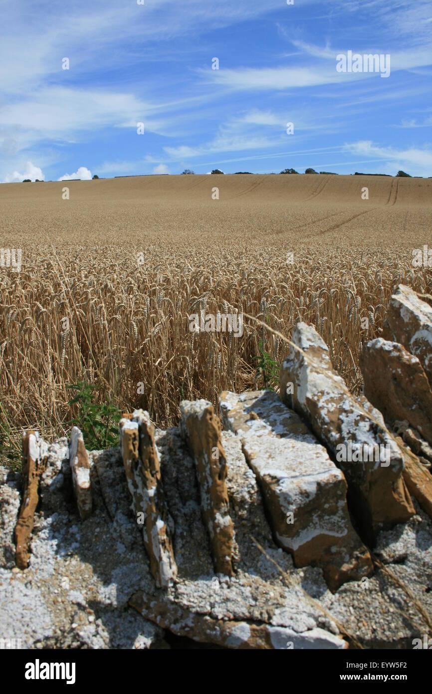 Campo di grano in estate, in prossimità Chesil Beach, Dorset, Inghilterra Immagini Stock