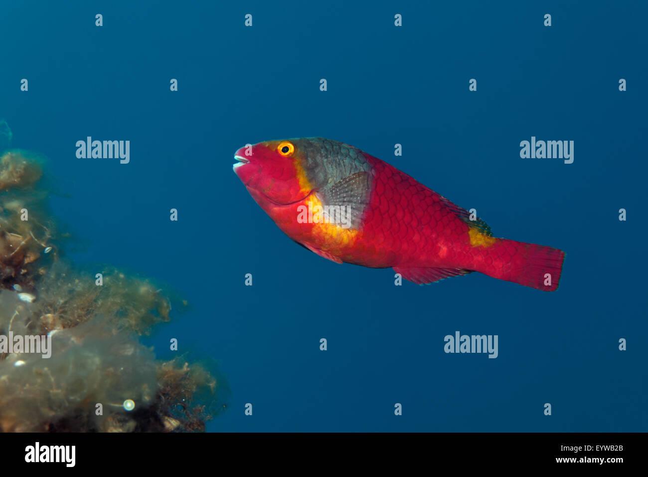 Pesci pappagallo mediterraneo (Sparisoma cretense), Corfu, Isole Ionie, Grecia Immagini Stock