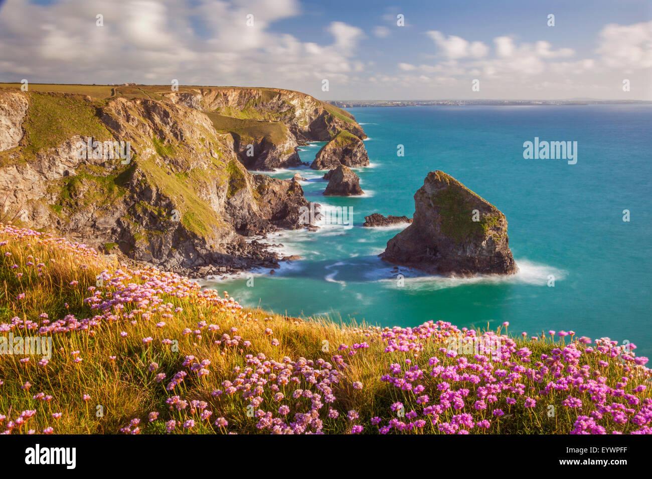 La parsimonia rosa fiori, Bedruthan Steps, Newquay, Cornwall, England, Regno Unito, Europa Immagini Stock