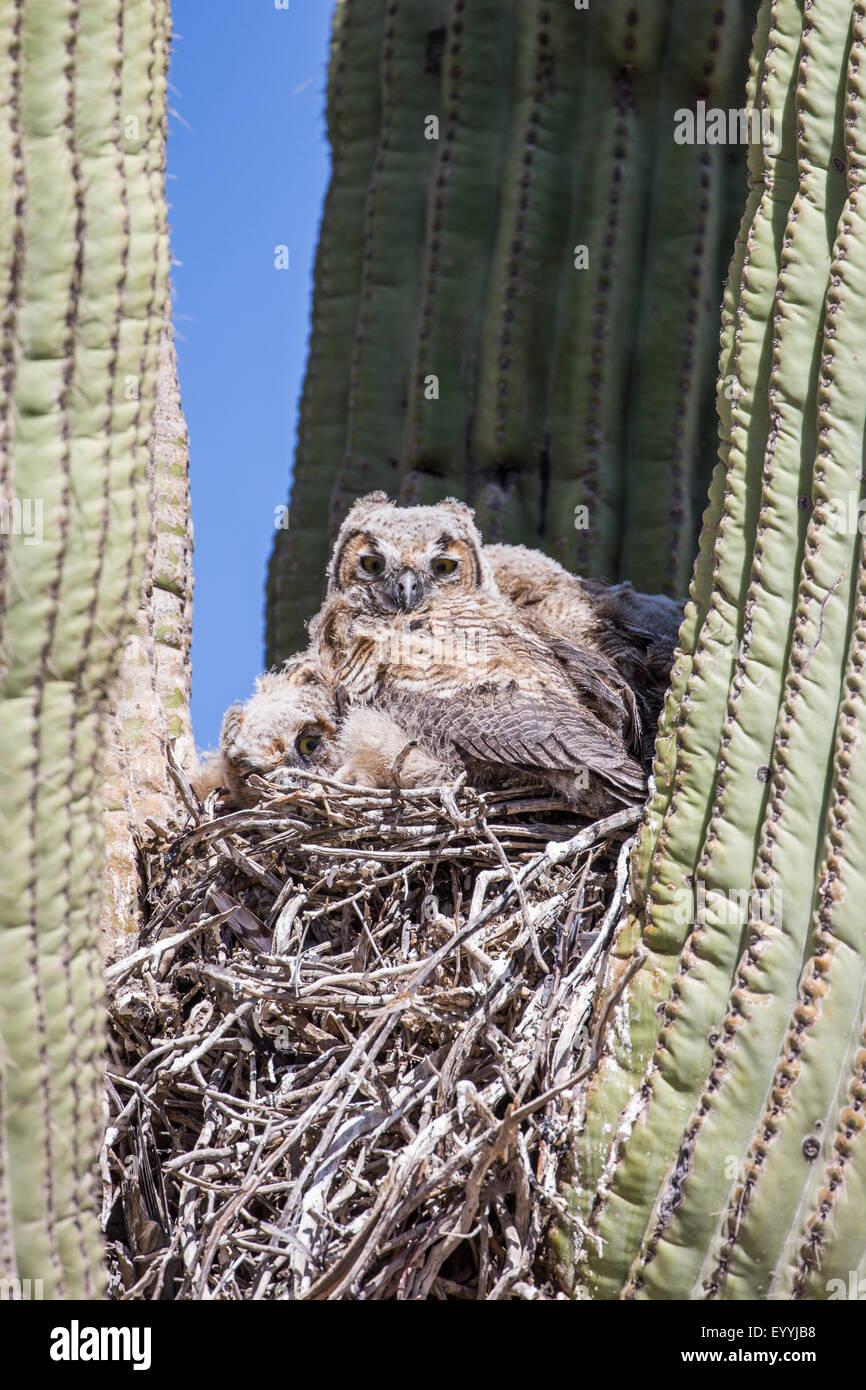 Grande gufo cornuto (Bubo virginianus), uccelli giovani nel nido in un saguro, STATI UNITI D'AMERICA, Arizona, Immagini Stock
