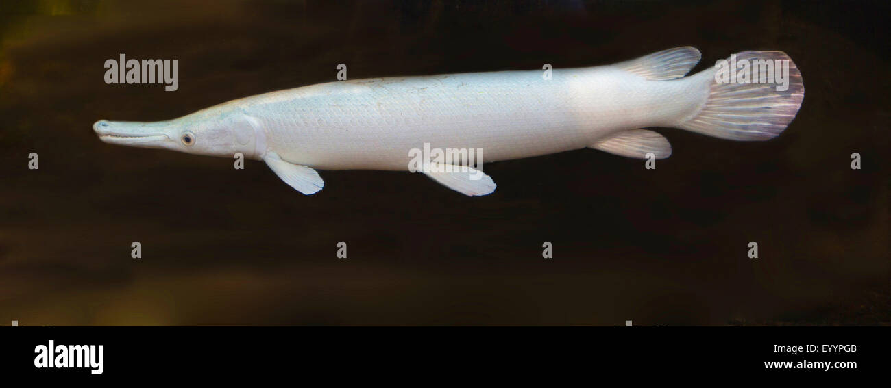 Alligator gar (Atractosteus spatola), Albino, STATI UNITI D'AMERICA, Florida Immagini Stock