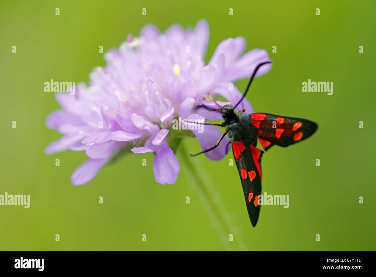 La variabile Burnett (Zygaena ephialtes), stiting su un fiore di campo scabious, GERMANIA Baden-Wuerttemberg Immagini Stock