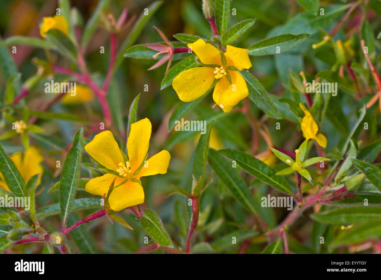 Acqua perenne primrose, Uruguay waterprimrose (Ludwigia grandiflora, Ludwigia uruguayensis, Jussiaea grandiflora), Immagini Stock