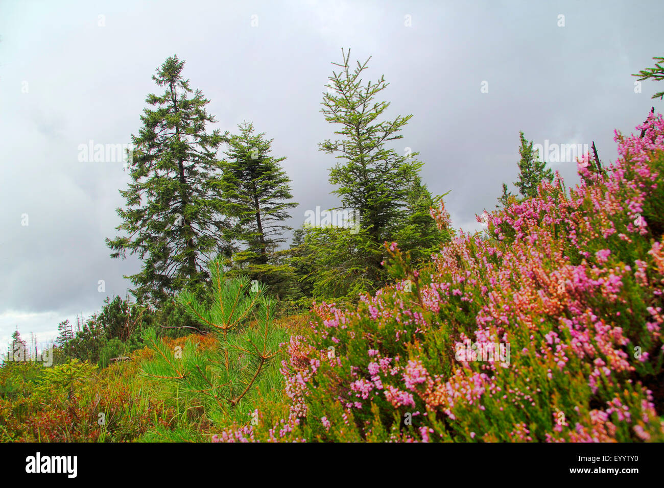 Foresta di conifere e heather in 1000 m di altezza, GERMANIA Baden-Wuerttemberg, Black Forest National Park Immagini Stock