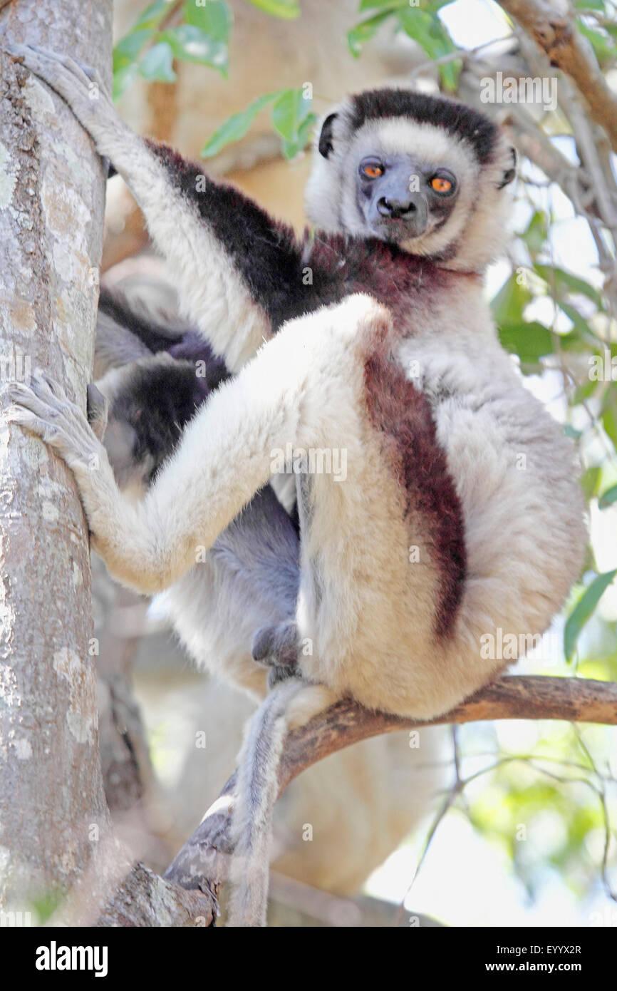 La Verreaux sifaka (Propithecus verreauxi), seduto su un ramo e guardando verso il basso, Madagascar, Isalo National Immagini Stock