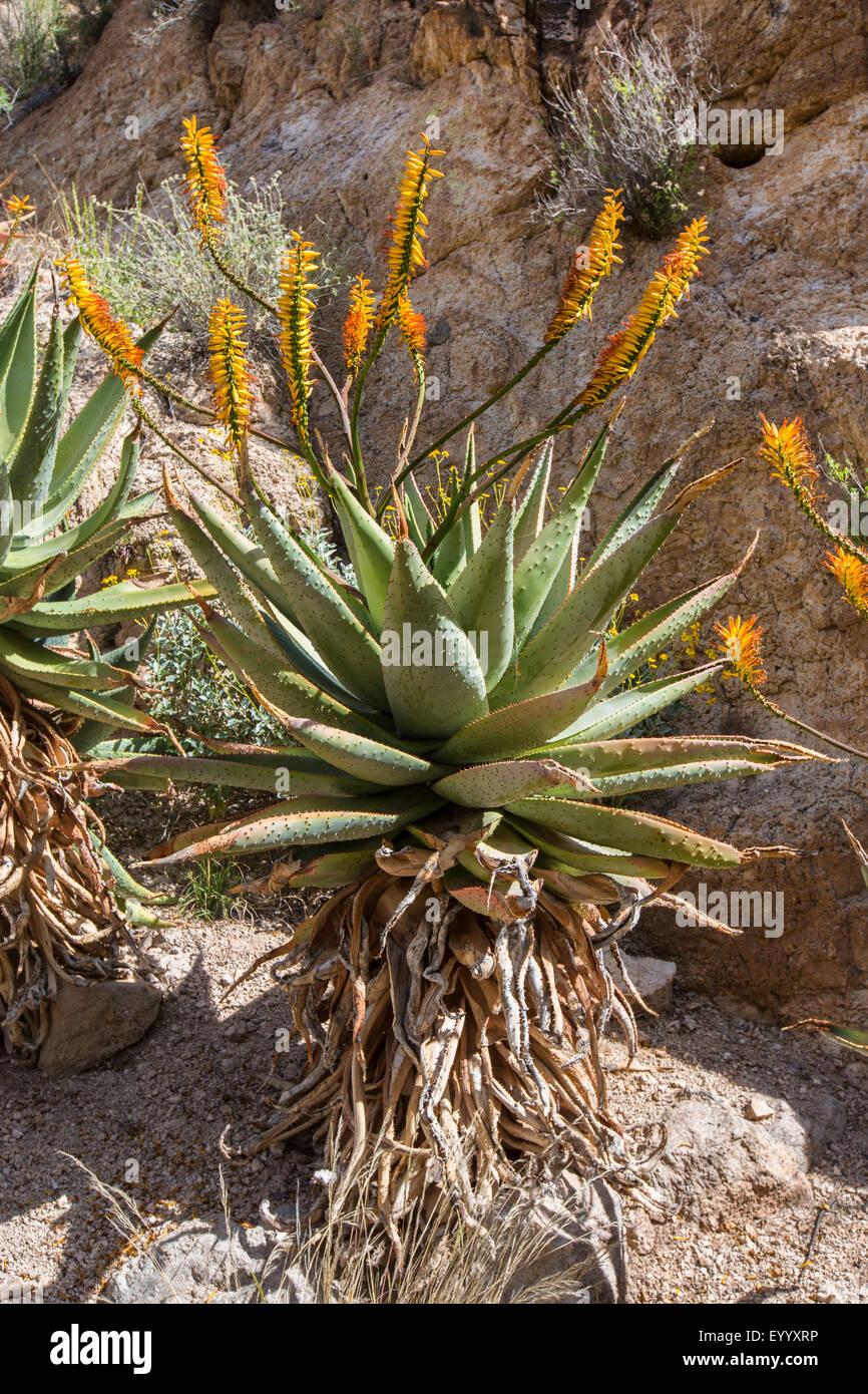 Mountain Aloe, piatto flowerd Aloe, grande spinosa aloe (Aloe marlothii), fioritura in corrispondenza di una parete Immagini Stock