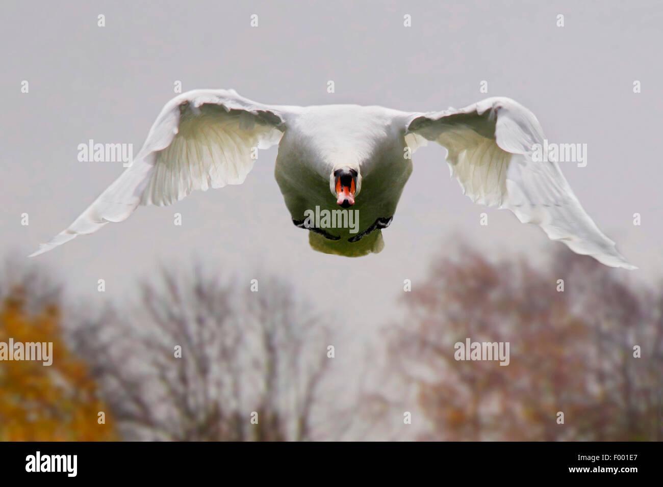 Cigno (Cygnus olor), in volo vista frontale, Germania Immagini Stock