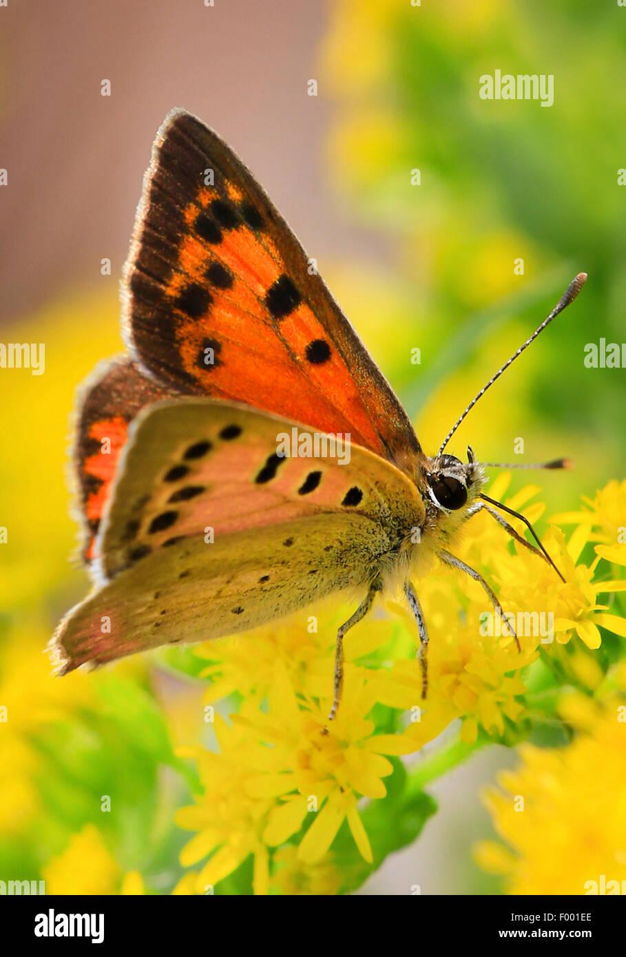 Piccola di rame (Lycaena phlaeas, Chrysophanus phlaeas), aspirando il nettare sui fiori gialli, Germania Immagini Stock