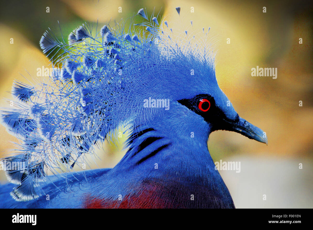 Victoria incoronato piccione (Goura victoria), ritratto Immagini Stock