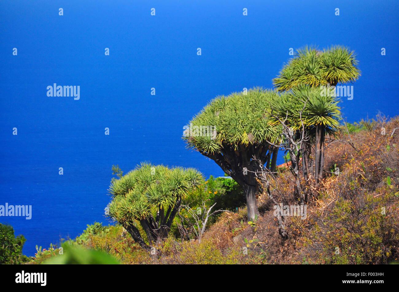 Drago di strappo il sangue, Draegon Tree, Isole Canarie Dragon Tree, Drago (Dracaena draco), Draegon Alberi di fronte Immagini Stock