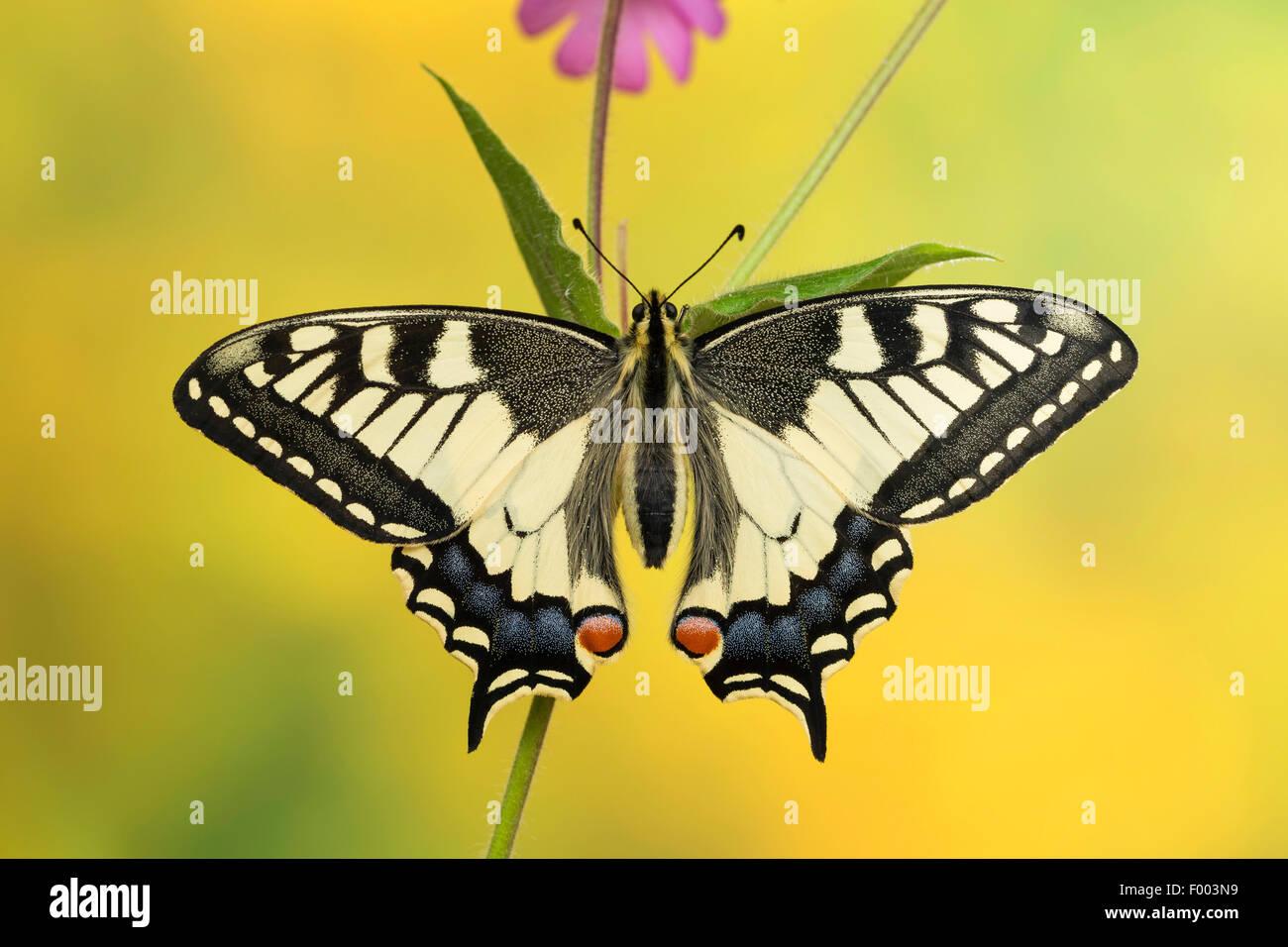 Coda forcuta (Papilio machaon), si siede su un gambo, Germania Immagini Stock