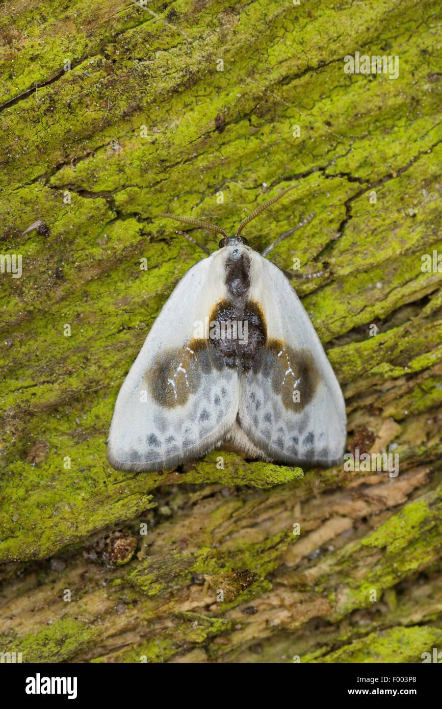 Carattere cinese (Cilix glaucata, Cilix angelina), sulla corteccia, Germania Immagini Stock