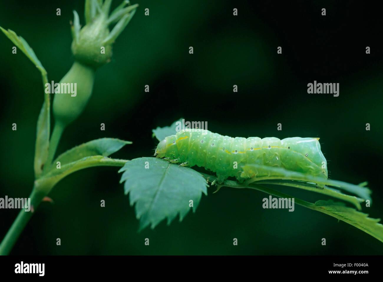 Il rame Underwing, Humped Fruitworm verde, piramidale Fruitworm verde (Amphipyra pyramidea) su uno stelo Immagini Stock