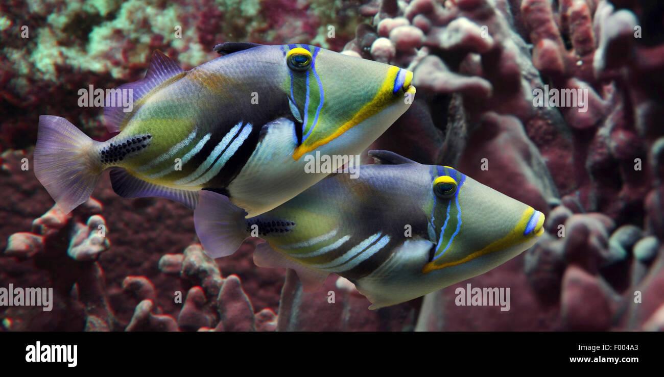 Pesce Picasso, humuhumu, blackbar triggerfish (Rhinecanthus aculeatus), due pesci Picasso nella parte anteriore Immagini Stock