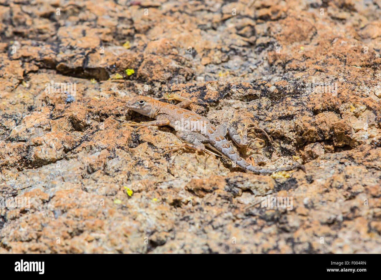 Elegante Earless Lizard (cfr. Holbrookia elegans), ben mimetizzata su rock, STATI UNITI D'AMERICA, Arizona Immagini Stock