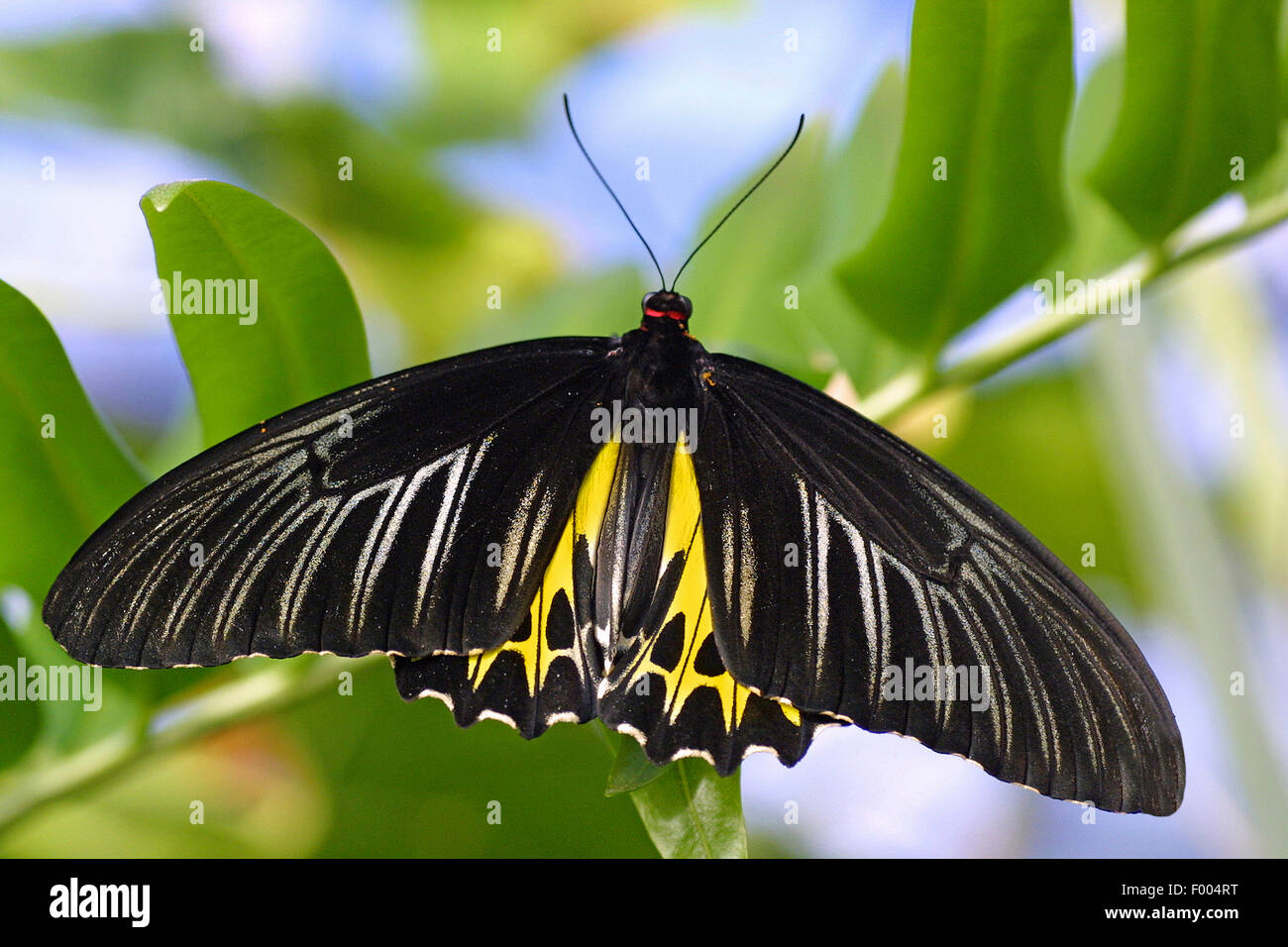 Farfalle tropicali (Troides helena), su un ramoscello Immagini Stock