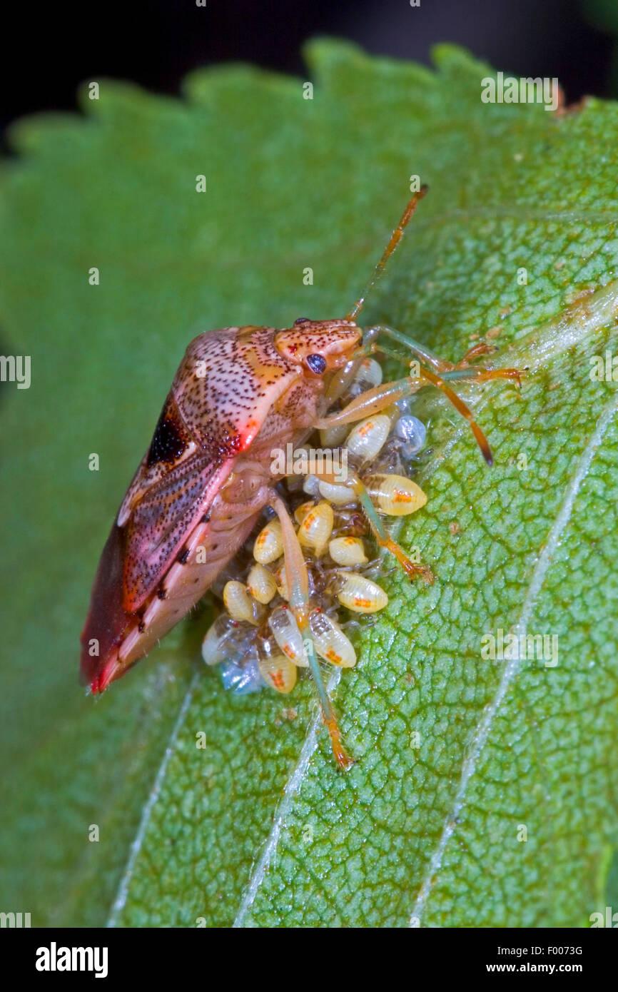 Bug di genitore, mothering bug (Elasmucha grisea), custodisce le sue uova, Germania Immagini Stock