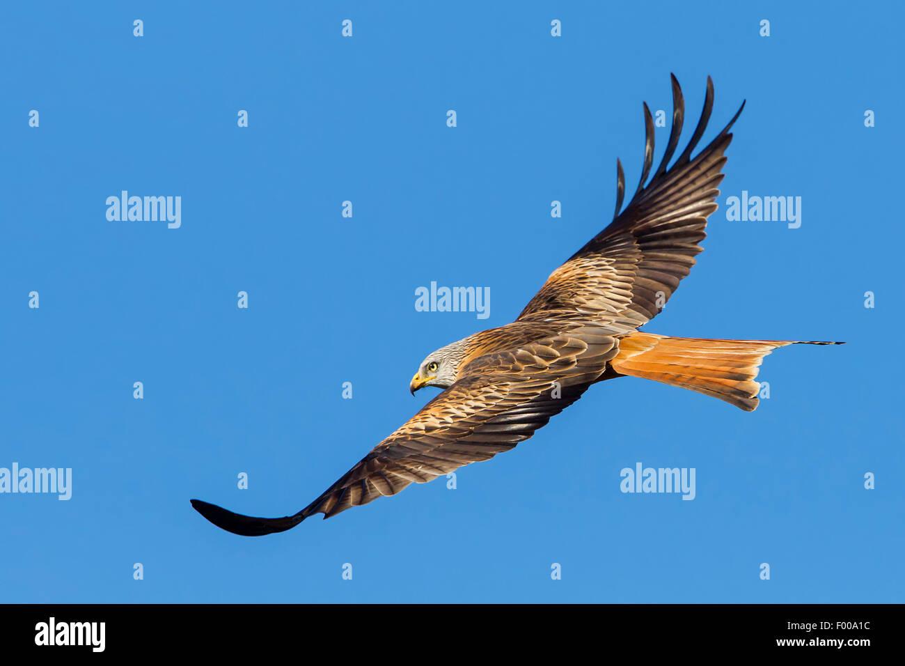 Nibbio reale (Milvus milvus), in volo, vista laterale, Svizzera Vallese Foto Stock