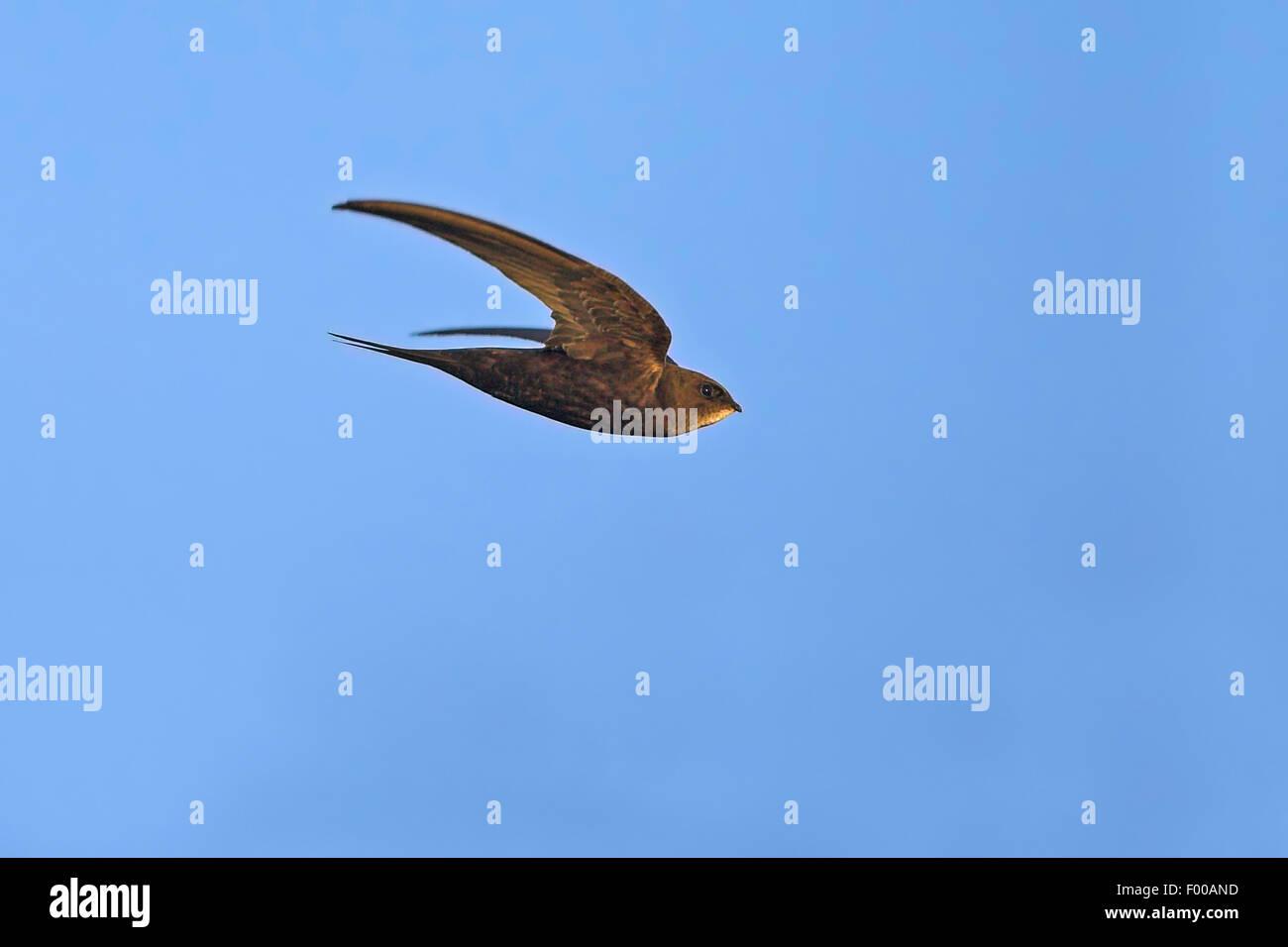 Eurasian swift (Apus apus), in volo, vista laterale, GERMANIA Baden-Wuerttemberg Immagini Stock