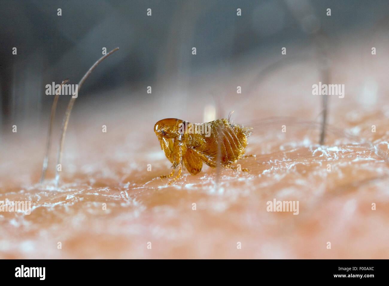 Bird flea (Ceratophyllus spec), sulla pelle umana Immagini Stock