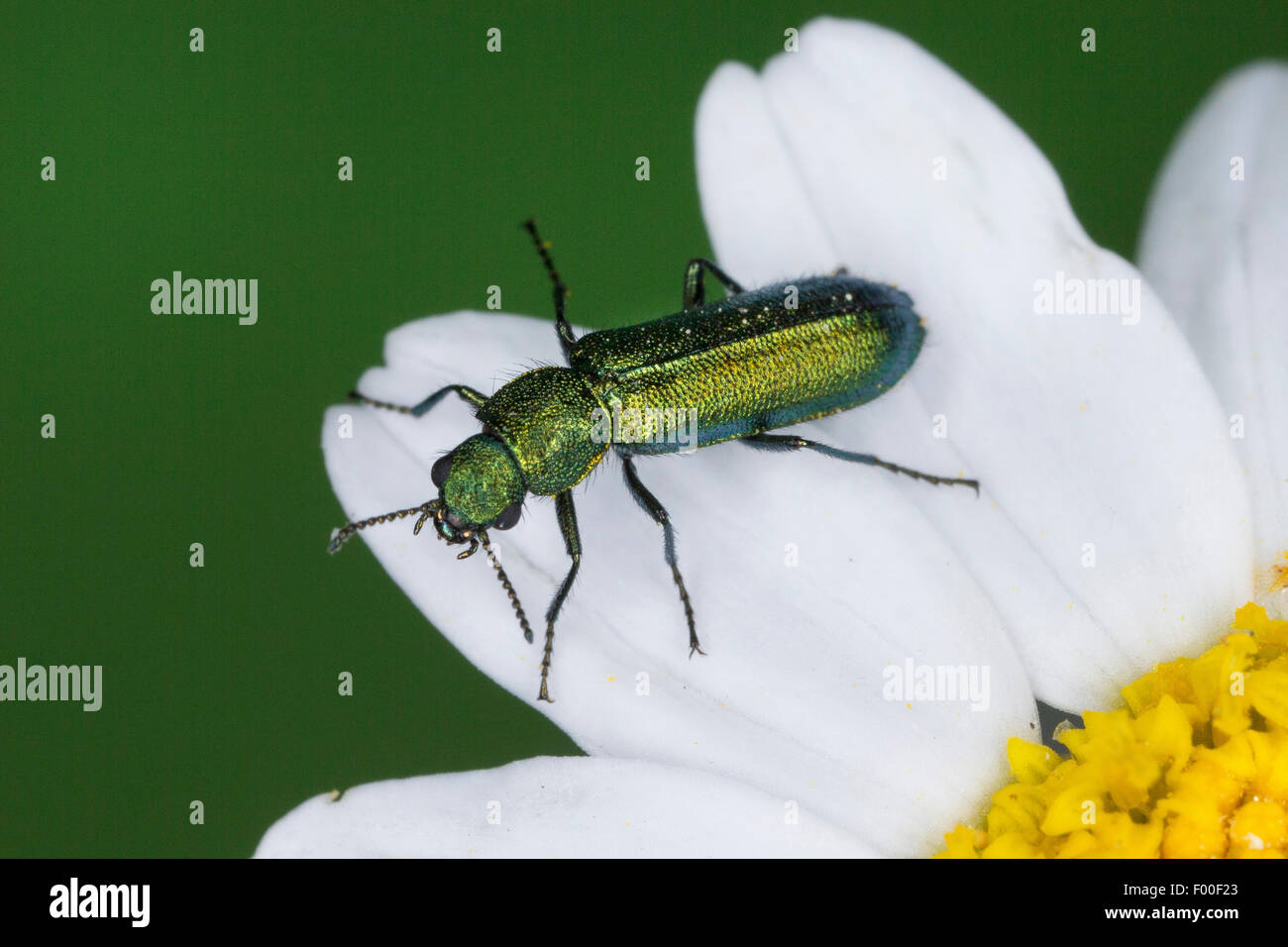 Soft-winged flower beetle (Psilothrix viridicoeruleus, Psilothrix viridicoerulea), su un fiore bianco, Germania Immagini Stock