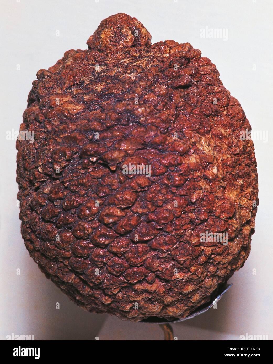 .Cycad, fossili del periodo Cretaceo . Immagini Stock