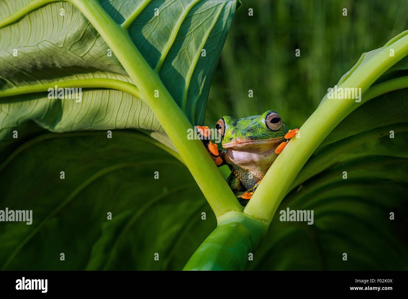 Frog guardando fuori dal tra due foglie Immagini Stock