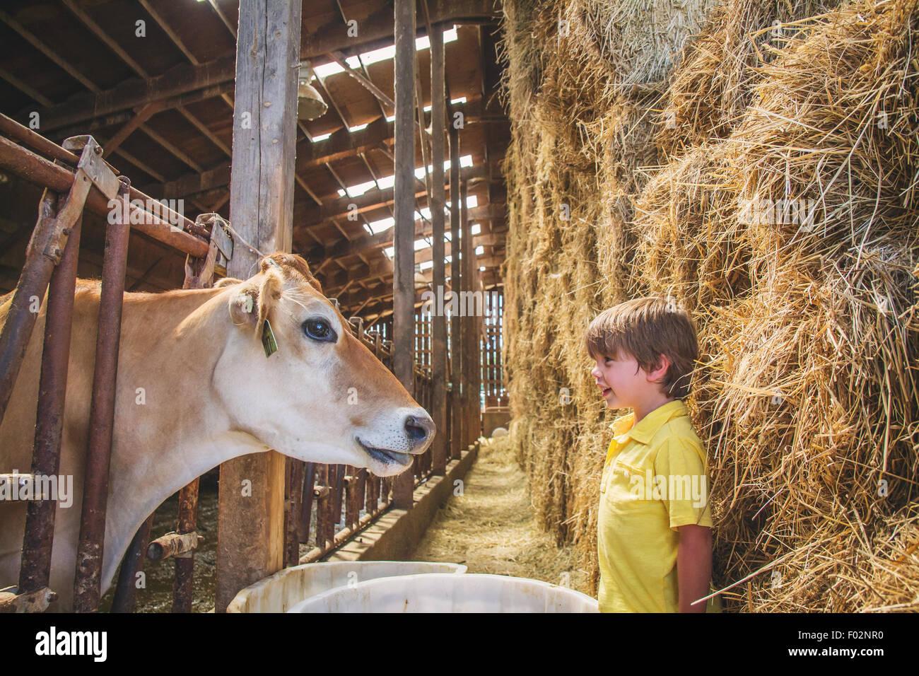 Ragazzo che guarda ad una mucca in una fase di stallo Immagini Stock