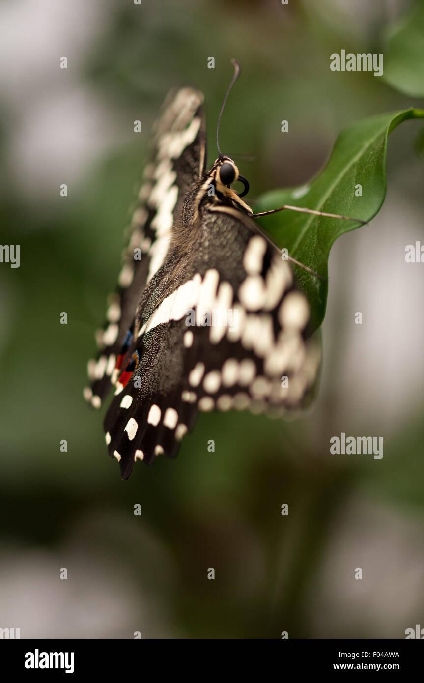 Papilio demoleus ' Limone Farfalla' in appoggio su una foglia a farfalle sensazionale esposizione, Museo Immagini Stock