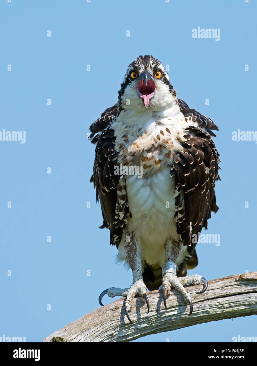 I capretti Osprey seduto in un albero bocca aperta con la lingua fuori Immagini Stock
