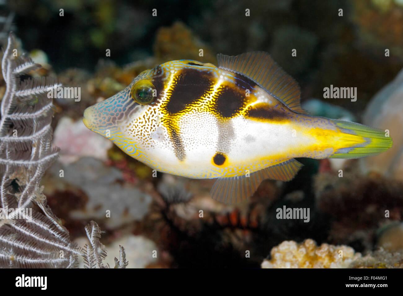 Mimic Filefish, Paraluteres prionurus. Questi pesci imitano il Toby sadled nero, Canthigaster valentini. Tulamben, Bali Foto Stock