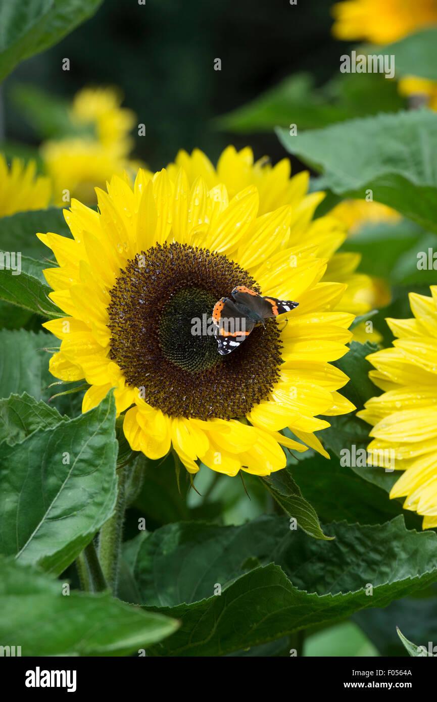 Vanessa atalant . Red Admiral butterfly su un girasole 'Sunrich limone estate' Immagini Stock