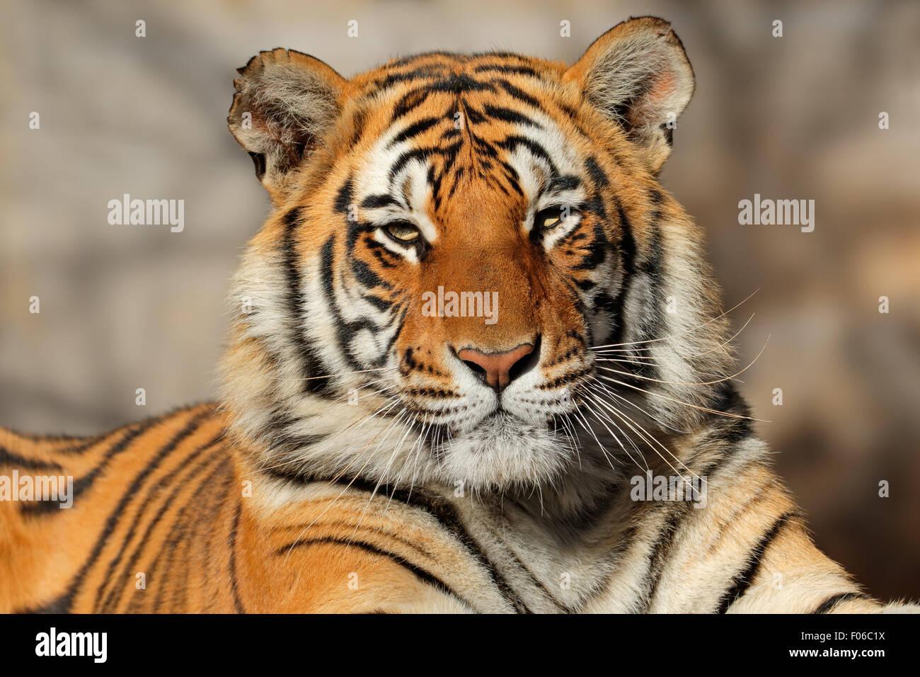 Ritratto di una tigre del Bengala (Panthera tigris bengalensis) Immagini Stock