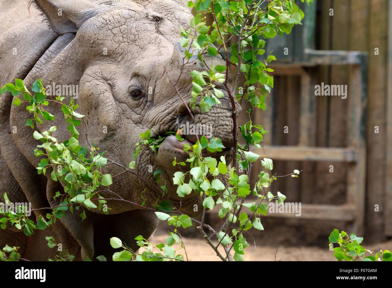 Maggiore di un corno di rinoceronte avente un feed Immagini Stock