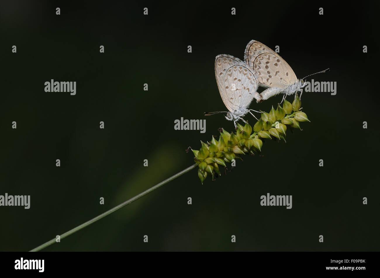 Farfalle di accoppiamento sul campo Immagini Stock