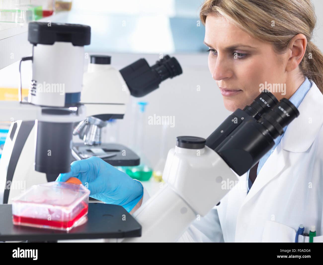 Visualizzazione dello scienziato stem cell culture in crescita in un mezzo di crescita sotto un microscopio invertito Immagini Stock