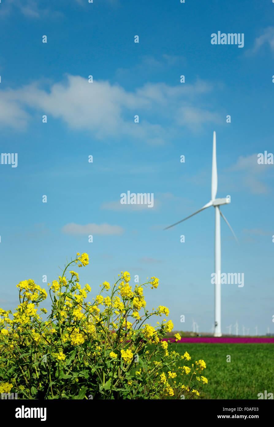 Erbaccia giallo nella parte anteriore del magenta fiore sboccia e la turbina eolica, Zeewolde, Flevoland, Paesi Immagini Stock