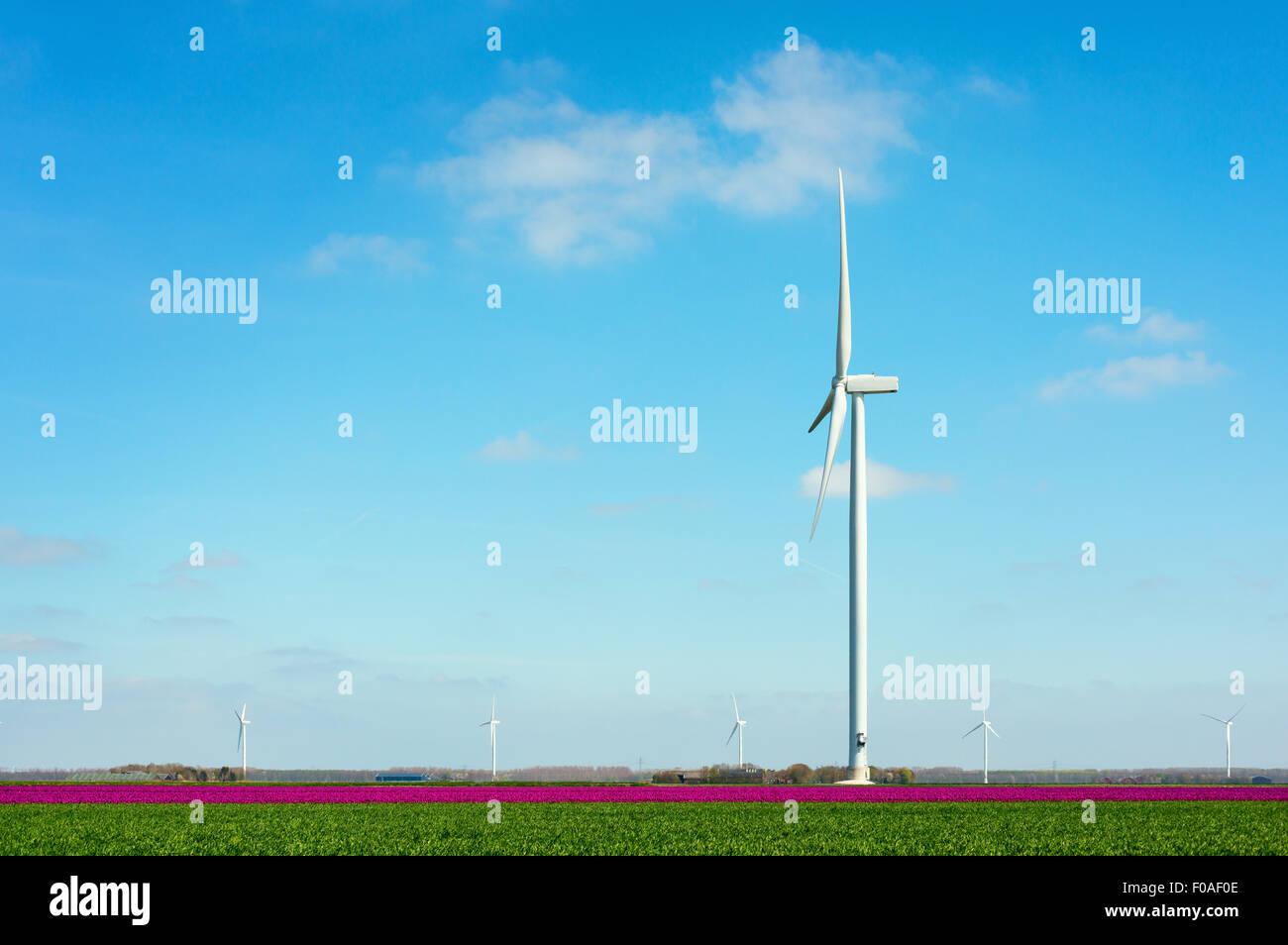 Campo con il magenta fiore sboccia e la turbina eolica, Zeewolde, Flevoland, Paesi Bassi Immagini Stock