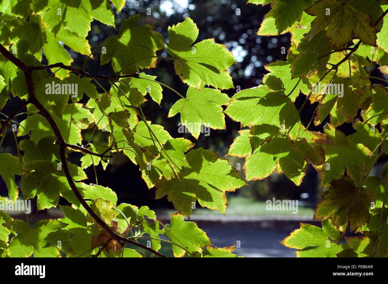 Herbstblaetter Immagini Stock