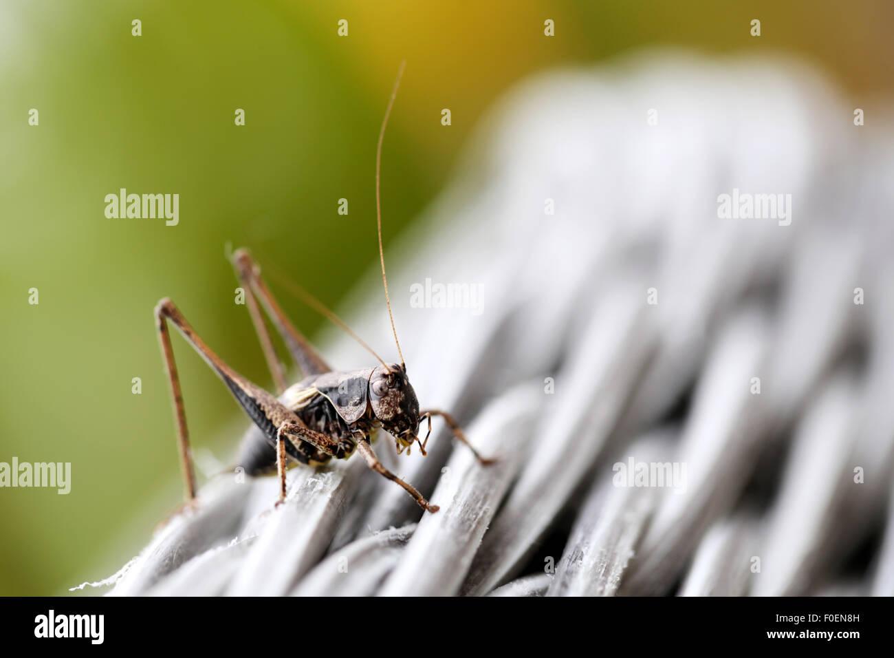 Una boccola scuro Cricket, Pholidoptera griseoaptera, arrampicata su mobili da giardino in un suburban giardino Immagini Stock