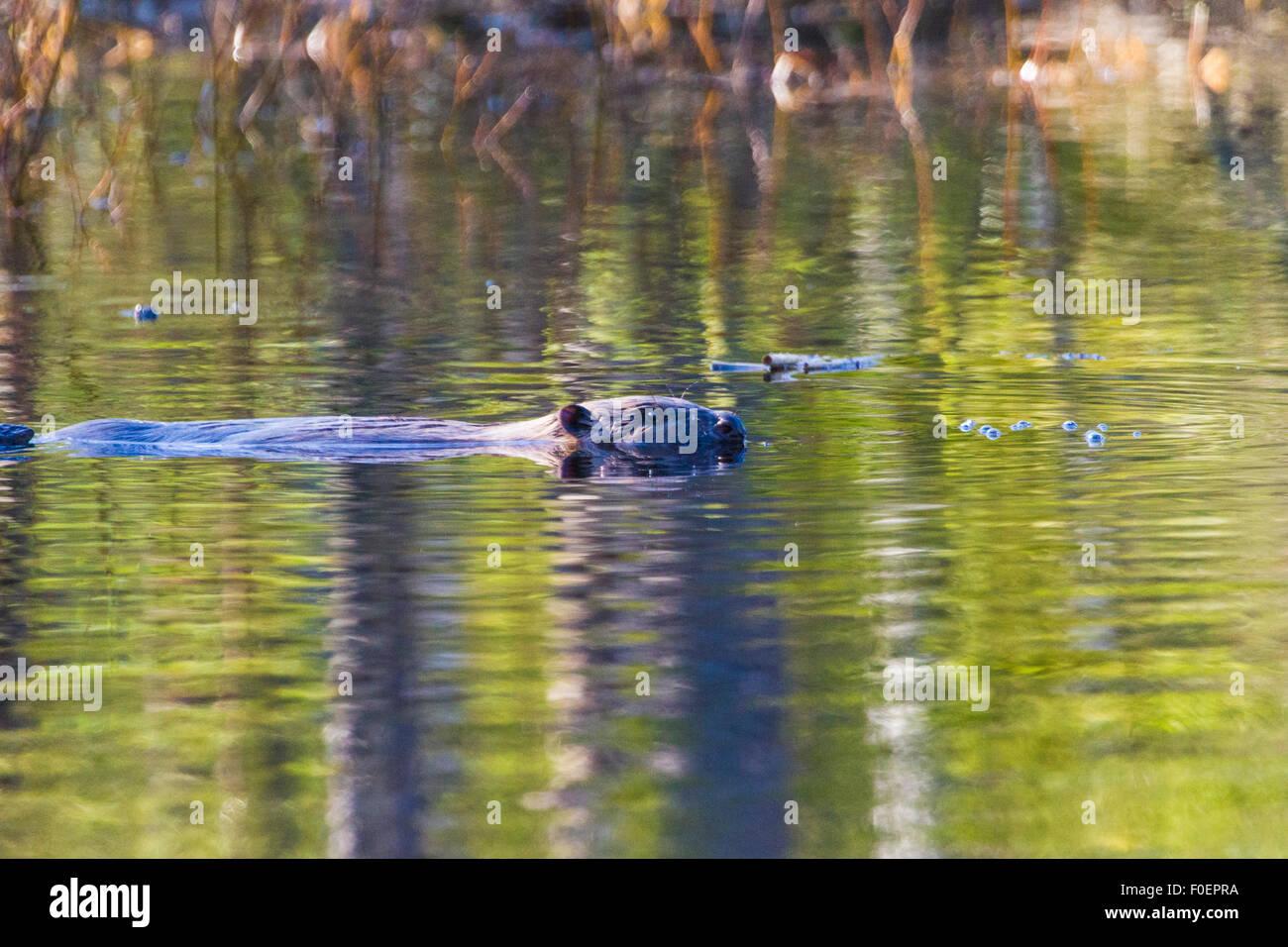 Beaver nuoto e visto dal lato di profilo, nel Norrbotten, Svezia Immagini Stock
