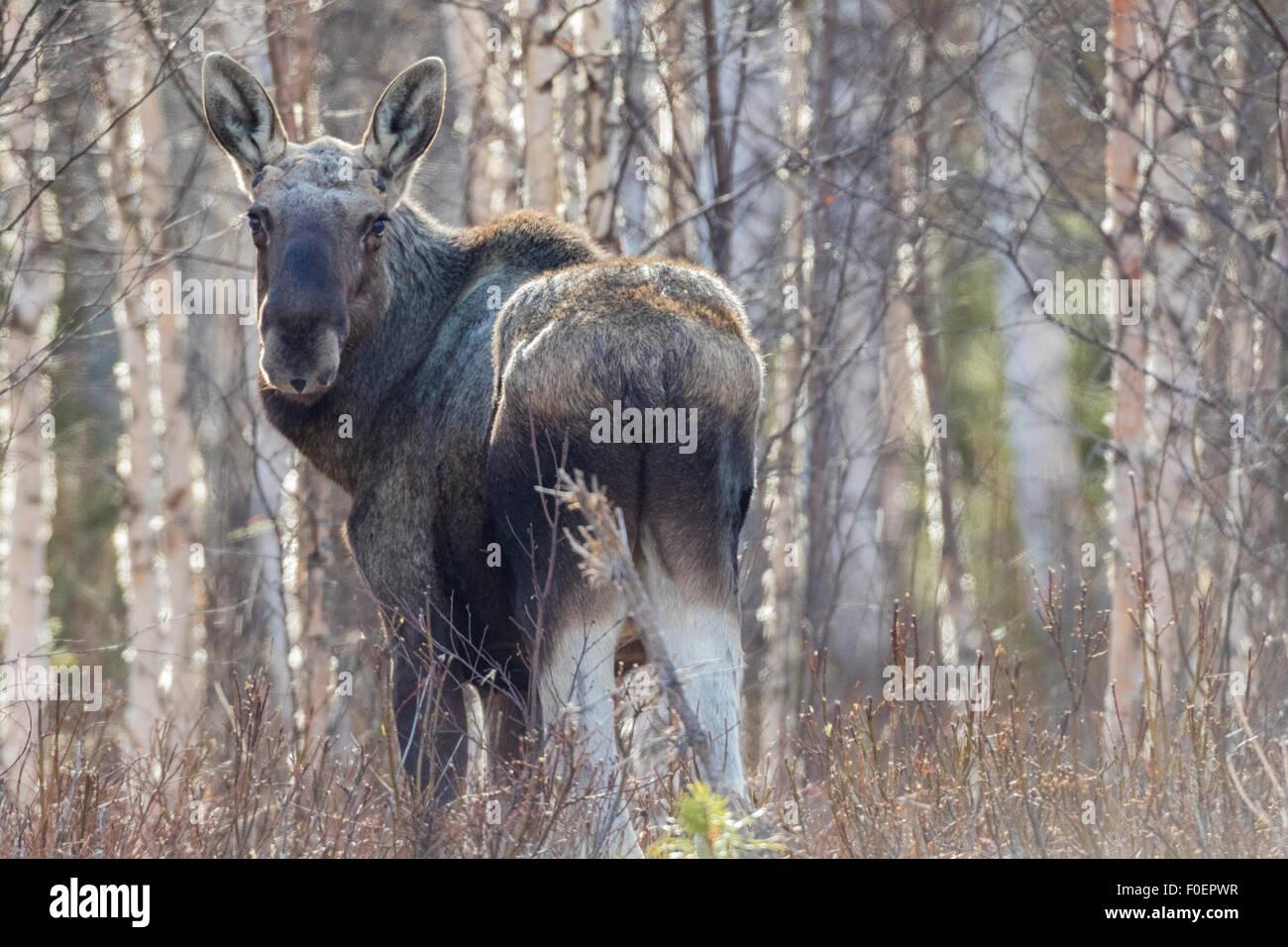Alci, Alces alces, in piedi tra le betulle senza foglie, llooking alla fotocamera, Gällivare, Lapponia svedese, Foto Stock