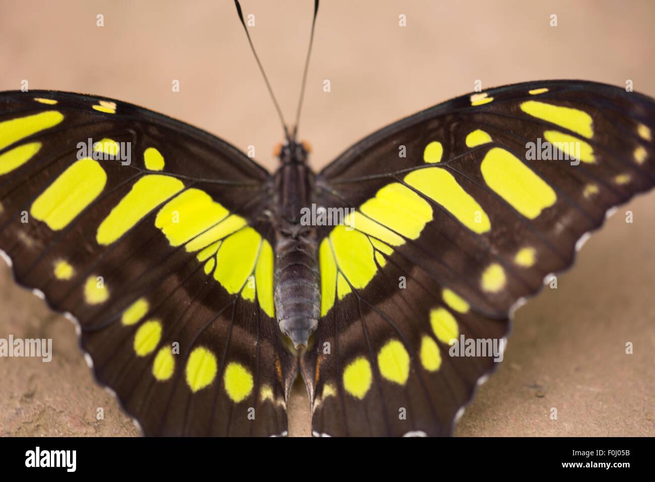 Nero e Giallo farfalla con sfondo sfocato, farfalle tropicali trovati in Costa Rica (America centrale) Immagini Stock