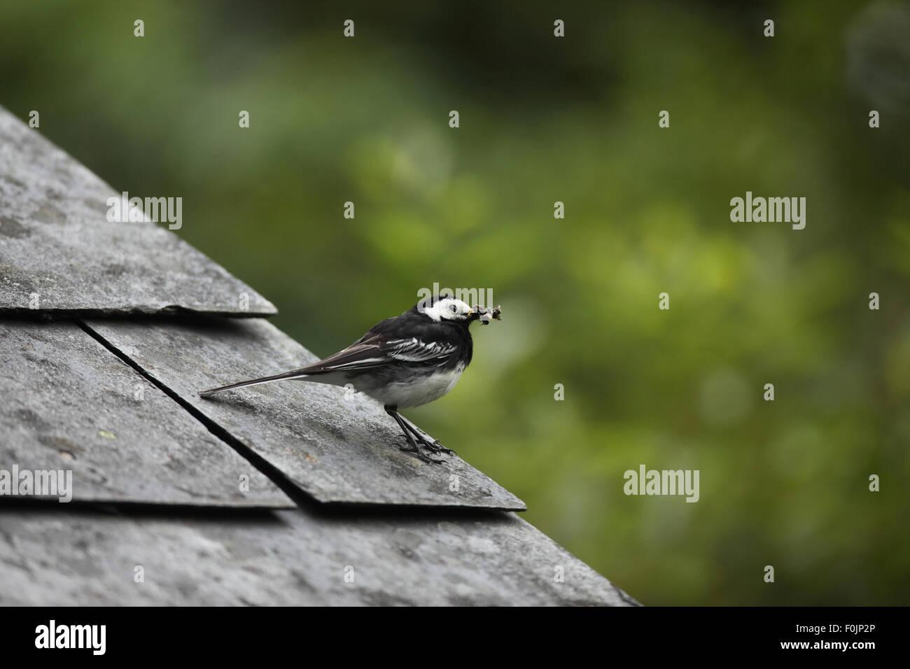 Pied wagtail (Motacilla alba) appollaiate sul tetto del granaio con beakfull di mosche Immagini Stock