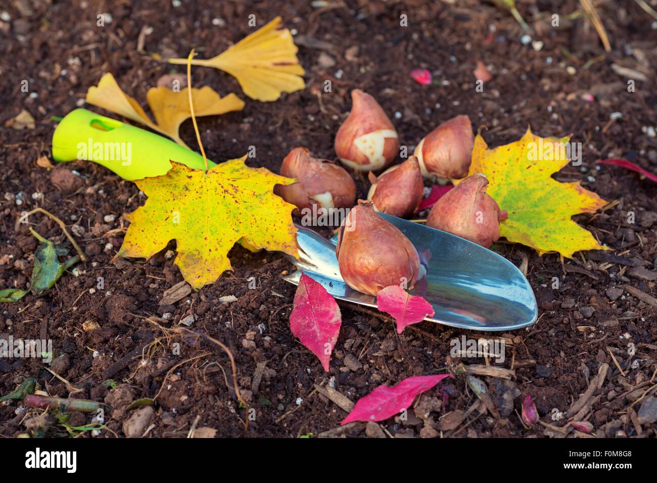 Piantare I Bulbi Di Tulipani bulbi di tulipani pronto per piantare nel giardino di casa
