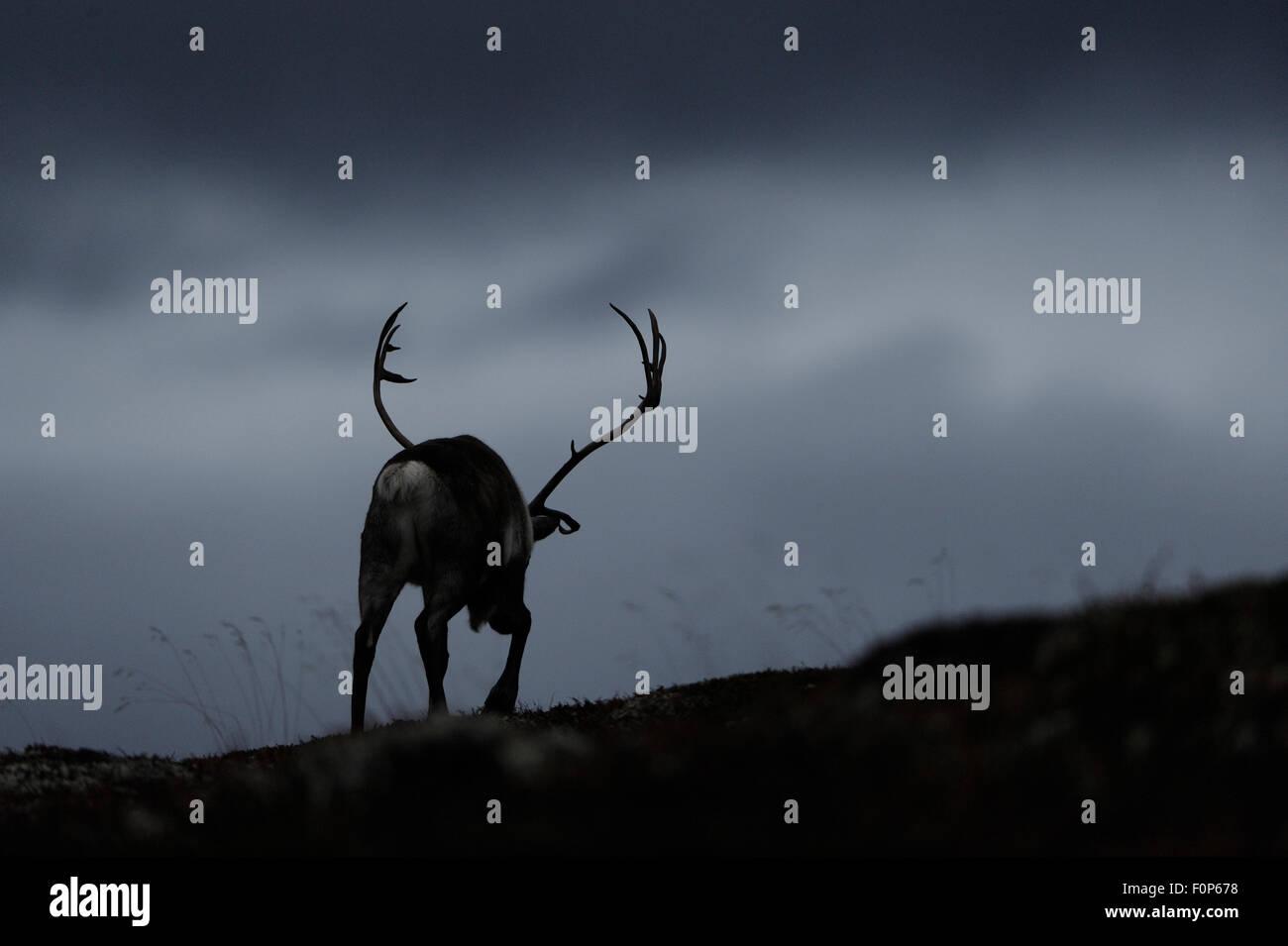 Silhouettet di renne (Rangifer tarandus) Vista posteriore, a piedi, selvatica di allevamento, Forollhogna National Immagini Stock