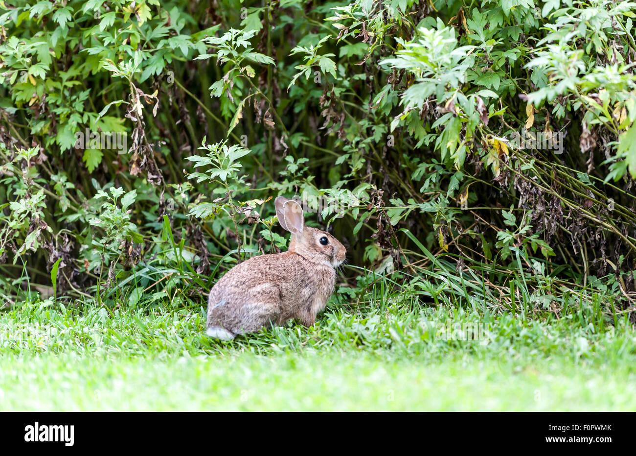 Timida bunny rabbit Immagini Stock