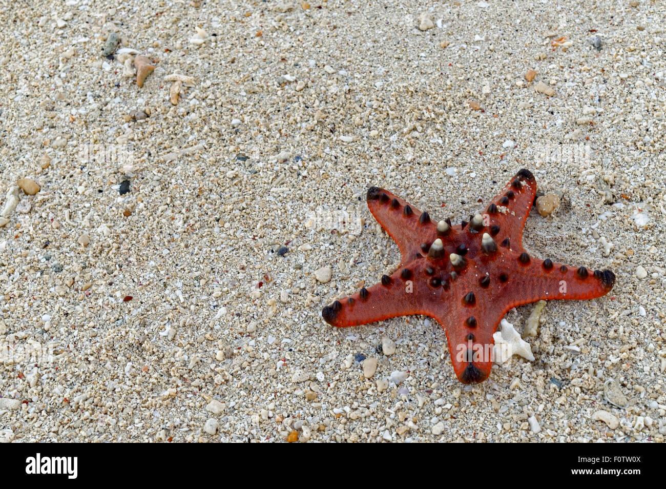 Un morto Seven-Inch Starfish sulla sabbia. Una graziosa stella di mare si trova sulla spiaggia. Decine di questo Immagini Stock